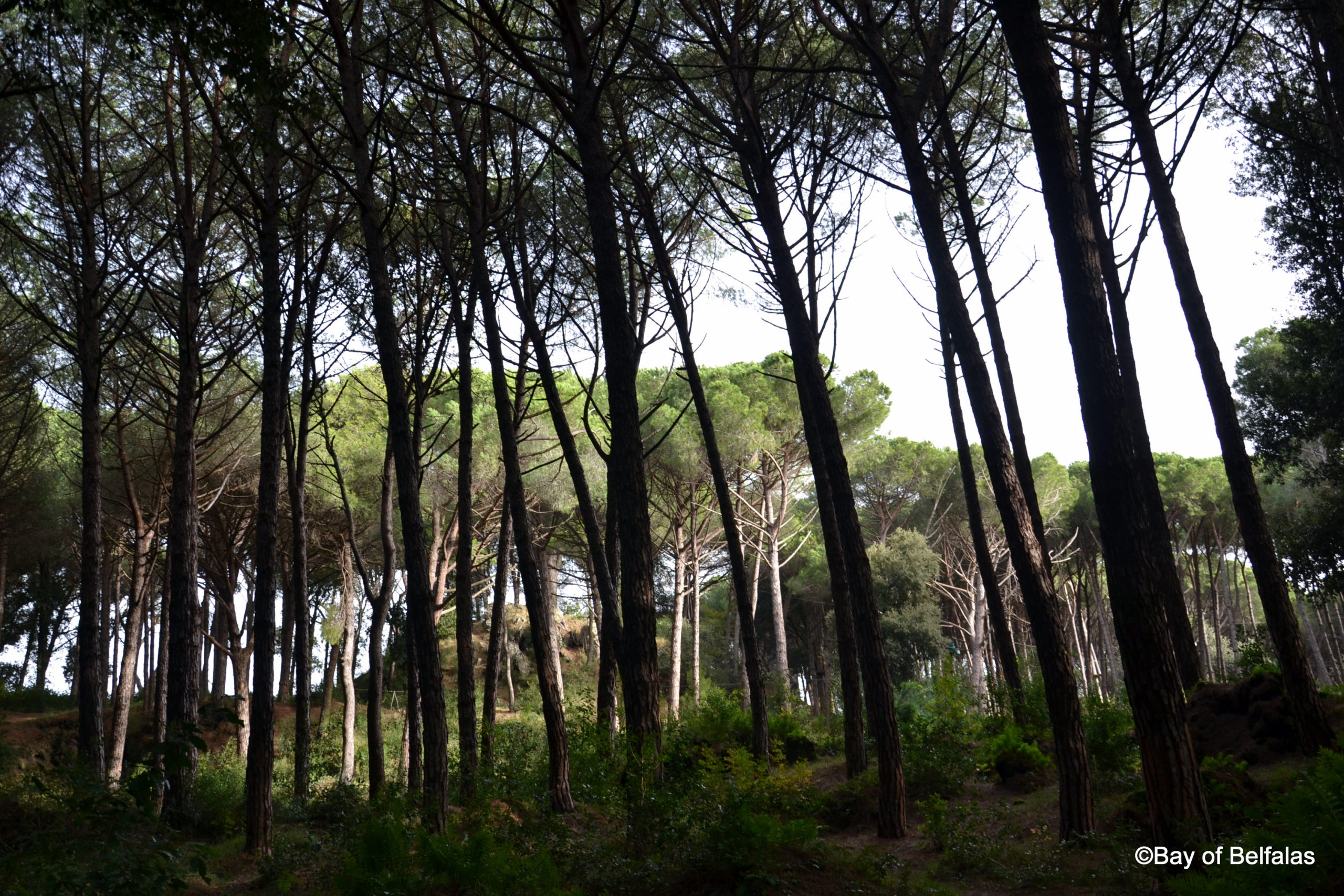 Green Energy – Pineta di Fiaiano, powerfull nature